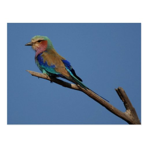 Lilac-Breasted Roller Bird Post Cards