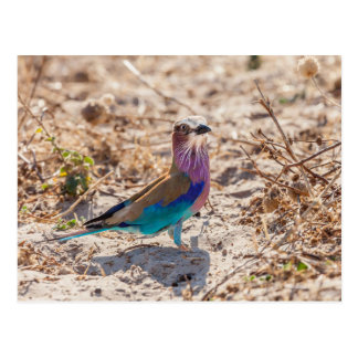 Lilac Breasted Roller Postcard