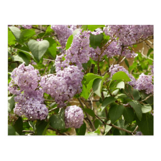 Lilac Bush Postcard