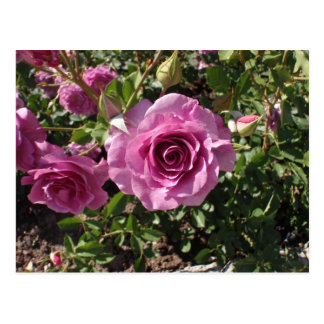 Lilac Colored Rose Postcard