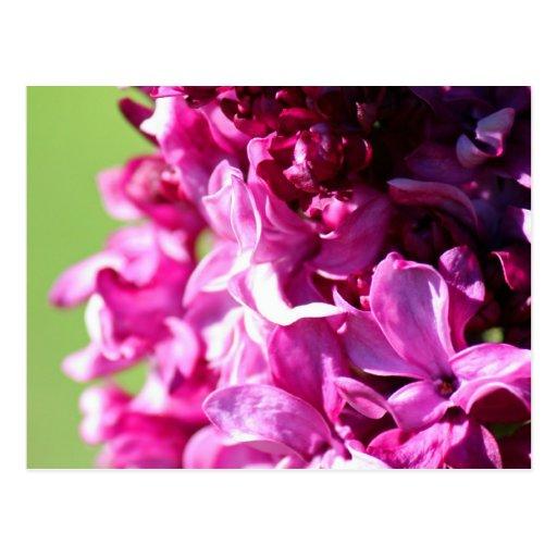 Lilac Postcard