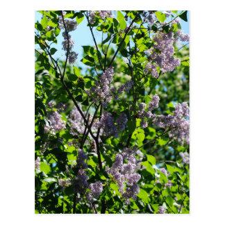 lilac post card