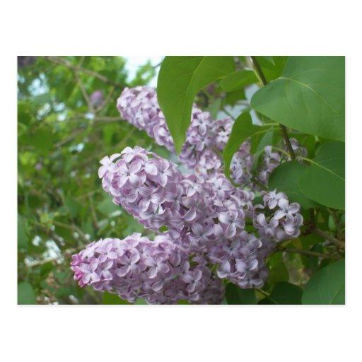 Lilacs 2 postcard