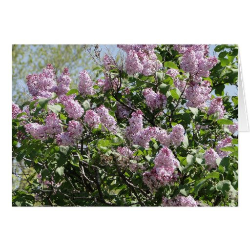 Lilacs Greeting Cards