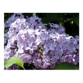Lilacs in Full Bloom Postcard