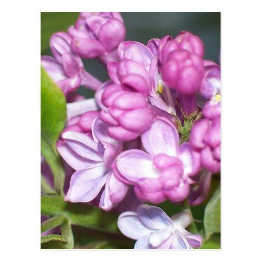 Lilacs in Oregon Postcards