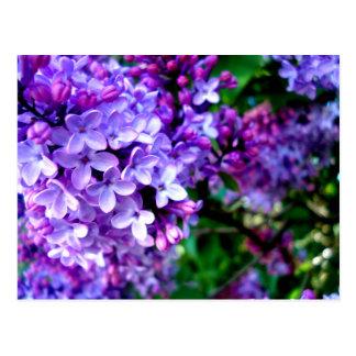 Lilacs Post Card