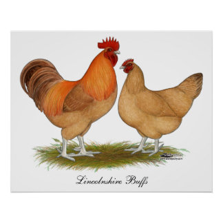 Lincolnshire Buff Chickens Poster