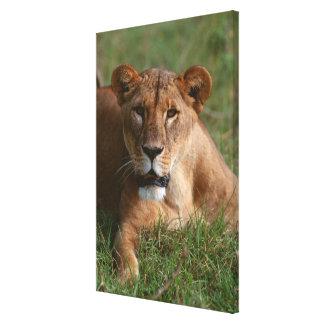 Lion 10 canvas print