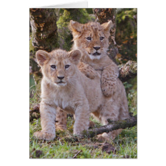 Lion cubs greetings card, blank, with envelope greeting card