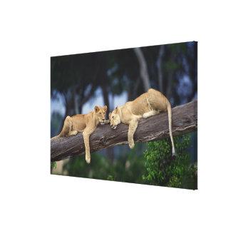 Lion cubs lying on tree branch , Kenya , Africa Canvas Print