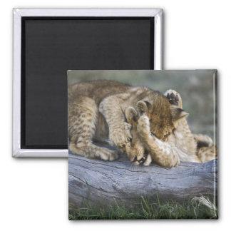 Lion cubs playing on log, Panthera leo, Masai Magnet