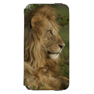 Lion, Panthera leo, Lower Mara, Masai Mara GR, Incipio Watson™ iPhone 6 Wallet Case