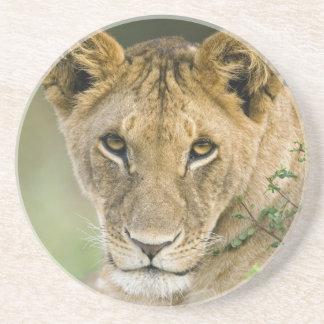Lion, Panthera leo, Masai Mara, Kenya Coaster