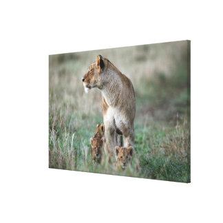 Lioness (Panthera leo) and cubs, Masai Mara Canvas Print