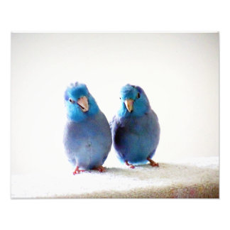 Little Birds Best Friends photo Pacific Parrotlets