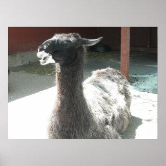 Llamas Posters