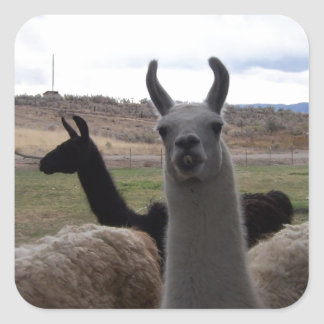 Llamas Square Sticker