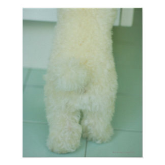 Low section view of a miniature poodle poster