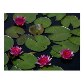Magenta Lotus Waterlily Postcard