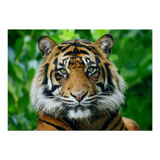 Magestic Bengal Tiger Posters
