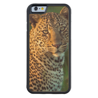 Male Leopard (Panthera Pardus) Full-Grown Cub Carved Maple iPhone 6 Bumper Case