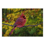 Male Northern Cardinal in autumn, Cardinalis Posters