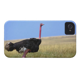 Male Ostrich in breeding plumage, Struthio iPhone 4 Cover