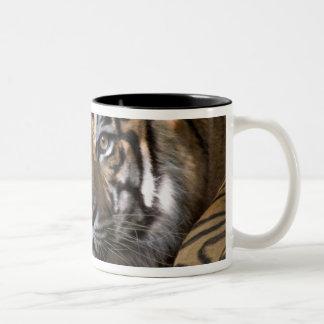 Male Sumatran Tiger (Panthera tigris sumatrae) Two-Tone Coffee Mug