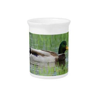 Mallard duck in a pond pitcher