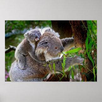 Mama and Baby Koalas Poster