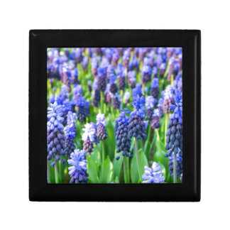 Many blue grape hyacinths gift box