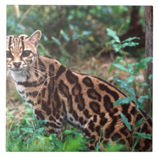 Margay, Leopardus wiedi, Native to Mexico into Tile