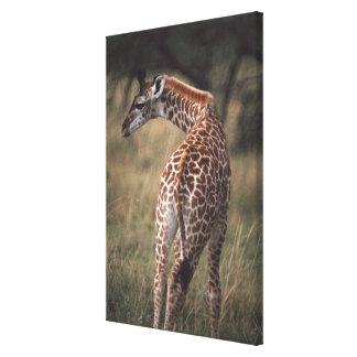 Massai Giraffe 3 Canvas Print
