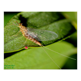 Mayfly #1 poster
