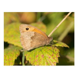 Meadow Brown Butterfly Postcard