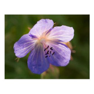 Meadow Cranesbill Flower Postcard