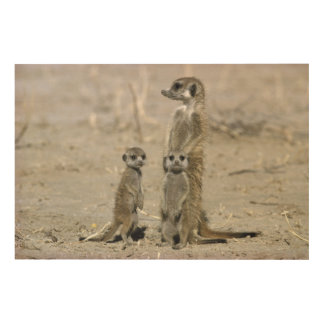 Meerkat Baby Sitter And Pups ( Suricata Suricata ) Wood Wall Decor