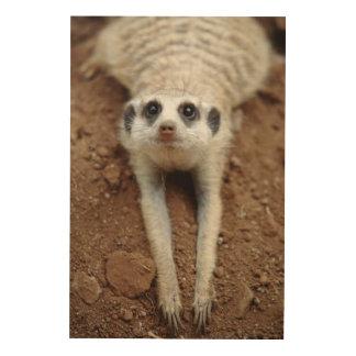 Meerkat (Suricata Suricatta) Cooling Down Wood Wall Decor
