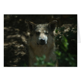 Mexican Wolf (Canis lupus baileyi) from Arizona Card