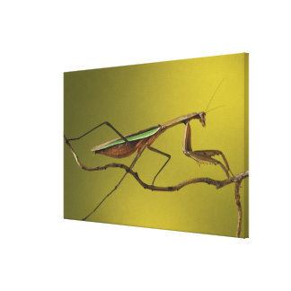 Michigan, Rochester Hills. Praying Mantis on Canvas Print