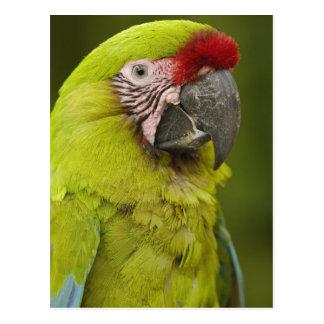 Military macaw (Ara militaris) CAPTIVE. Amazon 2 Postcard