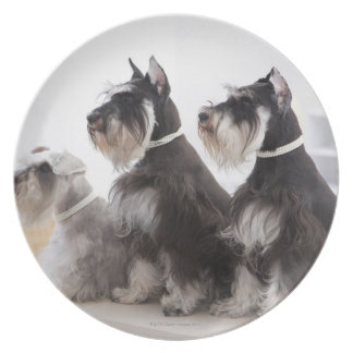 Miniature Schnauzers sitting at edge of table Plate