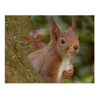 Mischievous Red Squirrel Postcard
