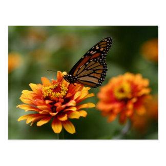 Monarch on Zinnia elegans 'Zowie' Postcard
