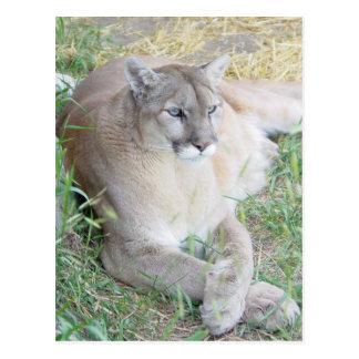 Montana Mountain Lion Postcard