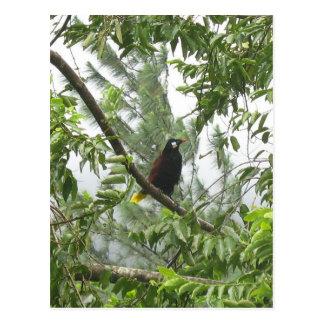 Montezuma Oropendola Postcard