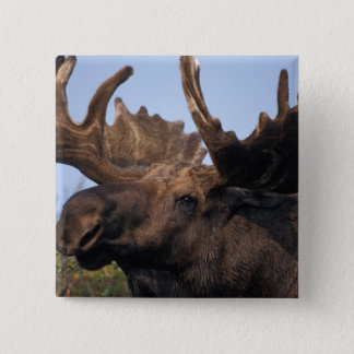 moose, Alces alces, bull with large antlers in 2 15 Cm Square Badge