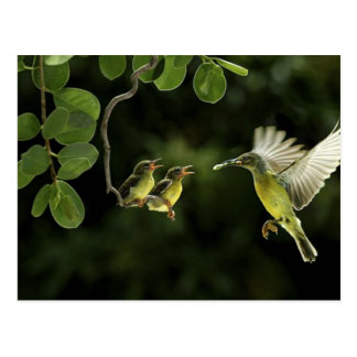 Mother Hummingbird Post Cards