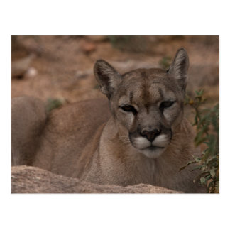 Mountain Lion 1 Postcard